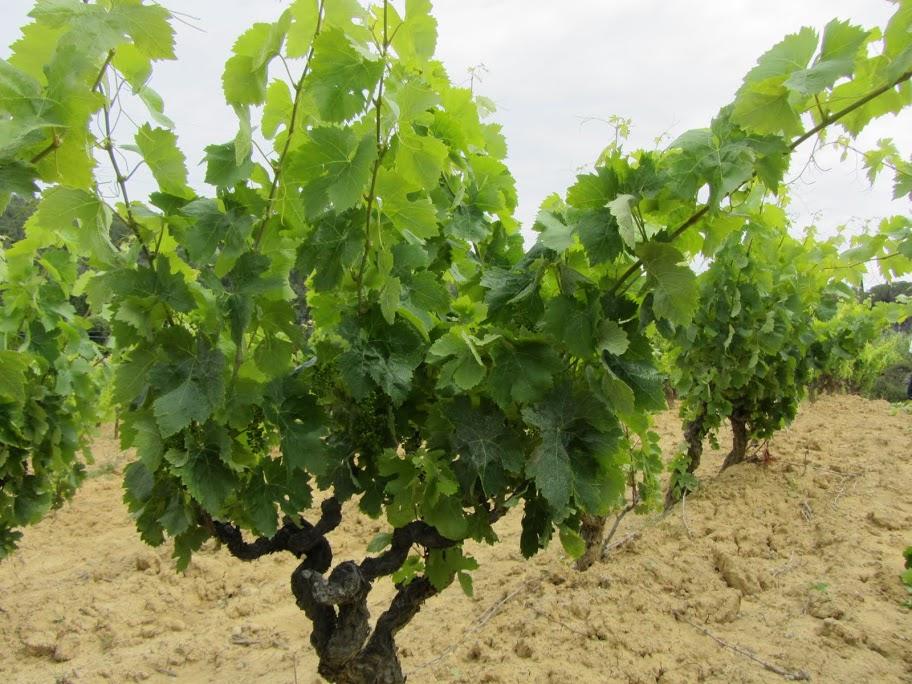 Domaine gardiole vin de pays de l 39 aude - Planter un pied de vigne ...